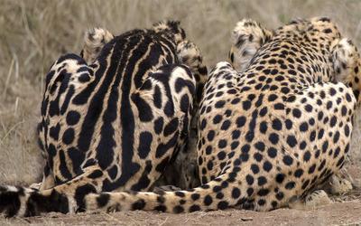 Cheetahs [2] wallpaper