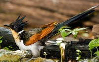 Chestnut-winged Cuckoo wallpaper 2560x1440 jpg