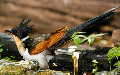 Chestnut-winged Cuckoo wallpaper