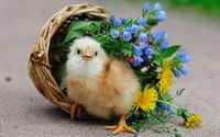 Chick in the basket wallpaper 1920x1200 jpg