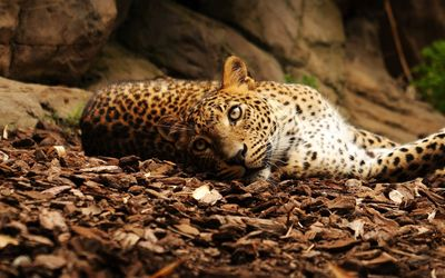 Chilling leopard wallpaper