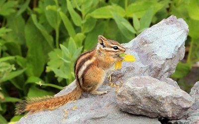 Chipmunk eating a yellow flower wallpaper