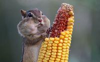 Chipmunk eating corn wallpaper 1920x1200 jpg