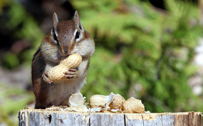 Chipmunk eating nuts wallpaper
