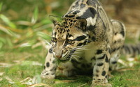 Clouded leopard [2] wallpaper 1920x1200 jpg