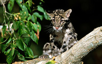 Clouded leopard [3] wallpaper 1920x1200 jpg