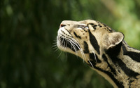 Clouded leopard wallpaper 1920x1200 jpg