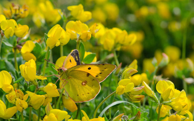 Clouded yellow butterfly wallpaper