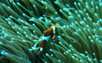 Clown Fish wallpaper 1920x1200 jpg