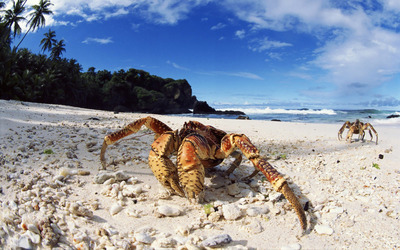 Coconut crab wallpaper