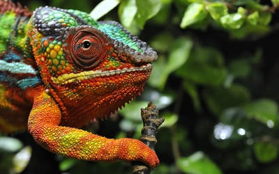 Colorful chameleon on a tree branch wallpaper