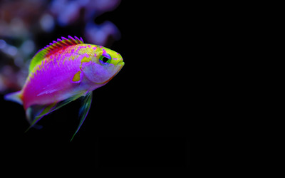 Colorful tropical fish wallpaper