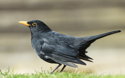 Common blackbird wallpaper