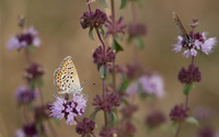 Common blue butterfly on thyme wallpaper 2880x1800 jpg