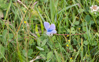 Common blue in the grass wallpaper 2880x1800 jpg