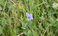 Common blue in the grass wallpaper 2880x1800 jpg