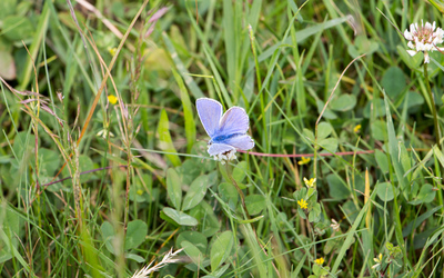Common blue in the grass wallpaper