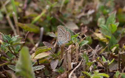 Common blue on with closed wings wallpaper