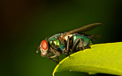 Common green bottle fly wallpaper