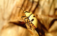 Corn rootworm beetle wallpaper 1920x1200 jpg