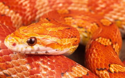 Corn snake close-up wallpaper