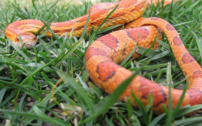 Corn snake on the grass wallpaper