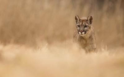 Cougar [3] wallpaper