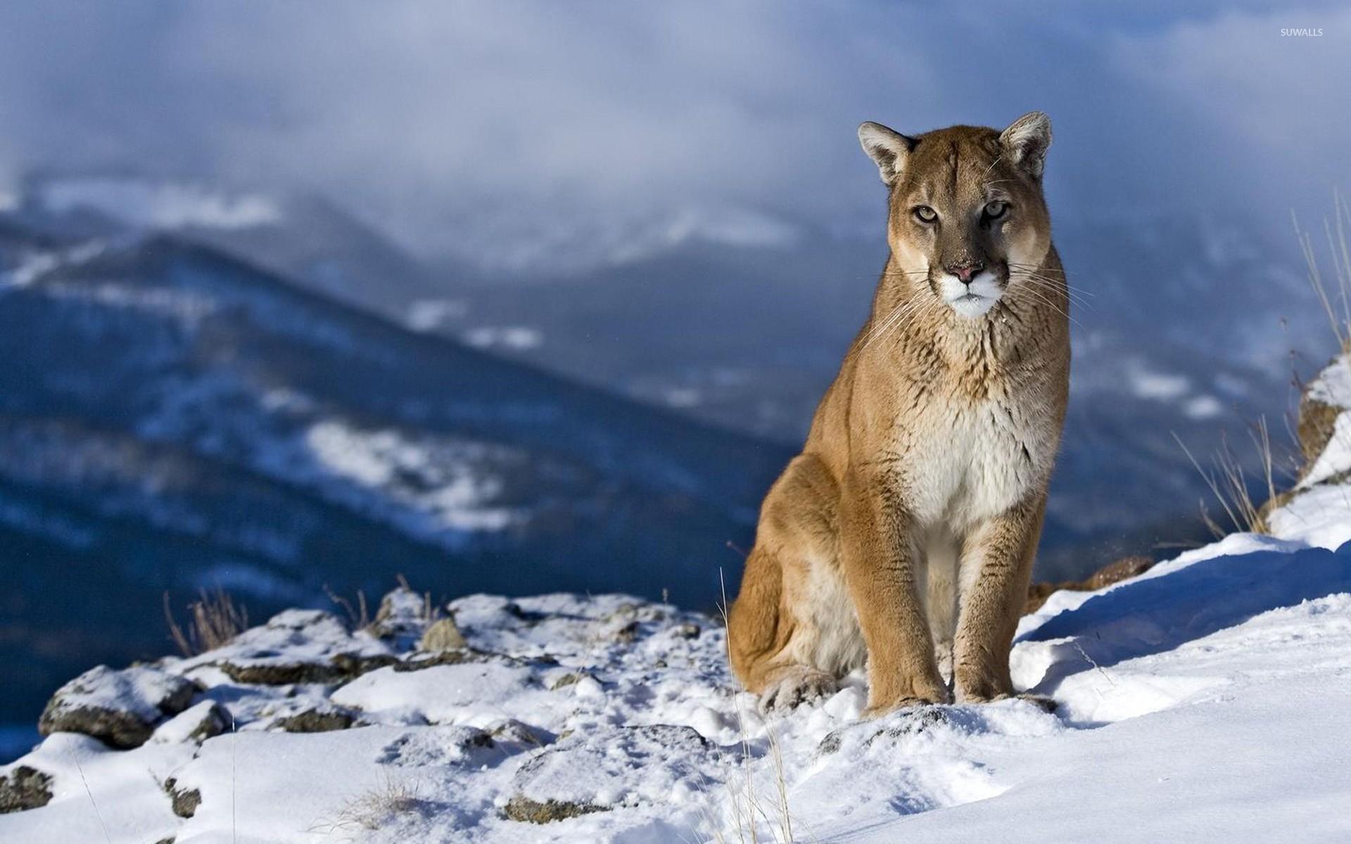 cougar wallpaper - animal wallpapers - #8710