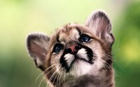 Cougar cub wallpaper 2560x1600 jpg