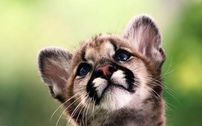 Cougar cub wallpaper