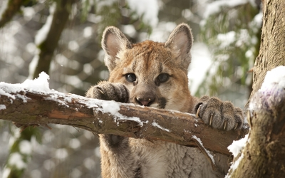 Cougar cub climbing in a tree wallpaper