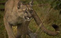Cougar gazing wallpaper 1920x1200 jpg