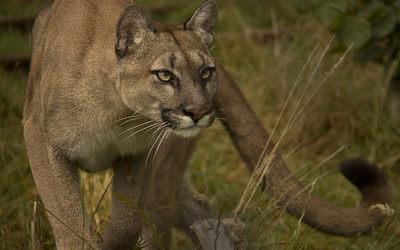 Cougar gazing wallpaper