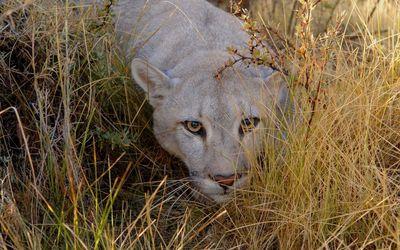 Cougar hiding in the grass wallpaper