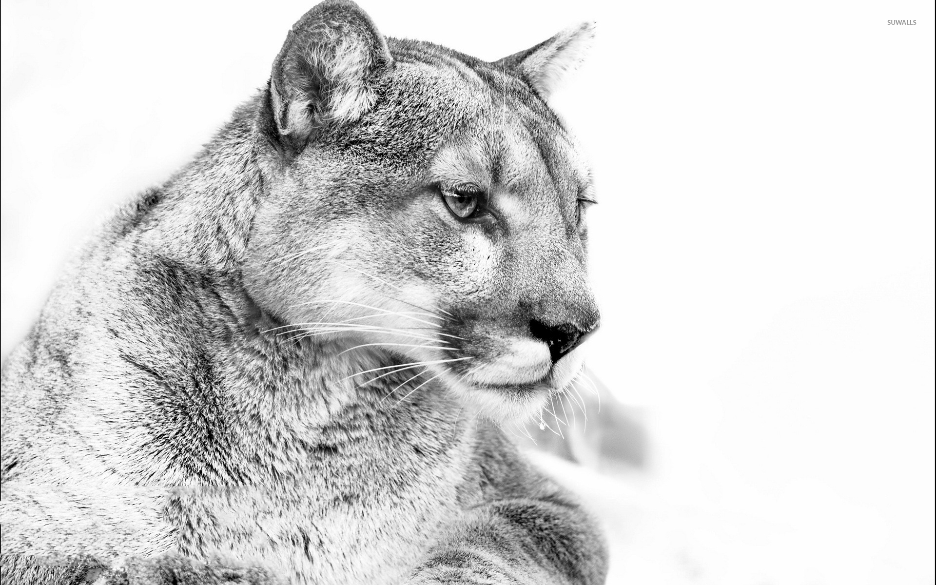 black cougar.com
