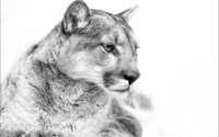 Cougar in black and white wallpaper 1920x1200 jpg