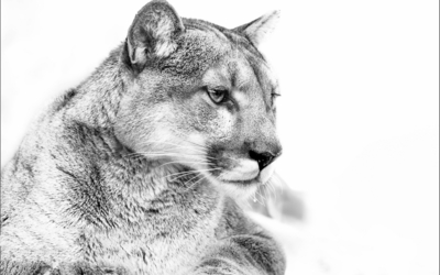 Cougar in black and white wallpaper