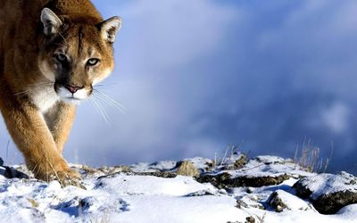 Cougar in the snow wallpaper