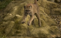 Cougar jumping wallpaper 1920x1200 jpg