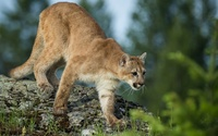 Cougar on a rock wallpaper 1920x1200 jpg