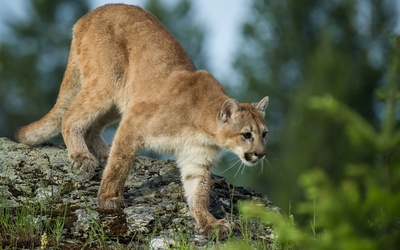 Cougar on a rock wallpaper