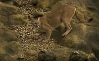 Cougar on a rock [3] wallpaper 1920x1200 jpg