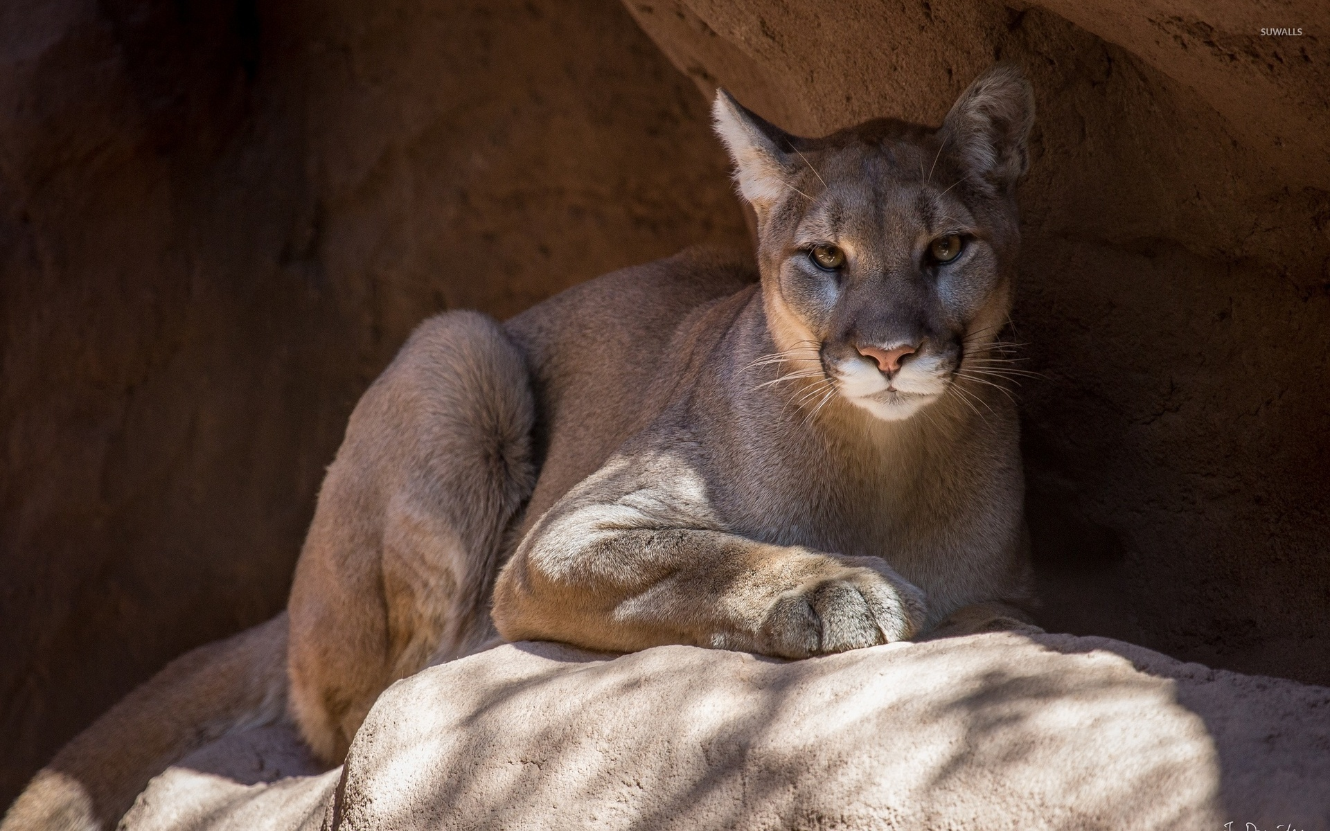 cougar on a rock [2] wallpaper - animal wallpapers - #42431