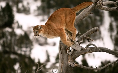 Cougar ready for a jump wallpaper