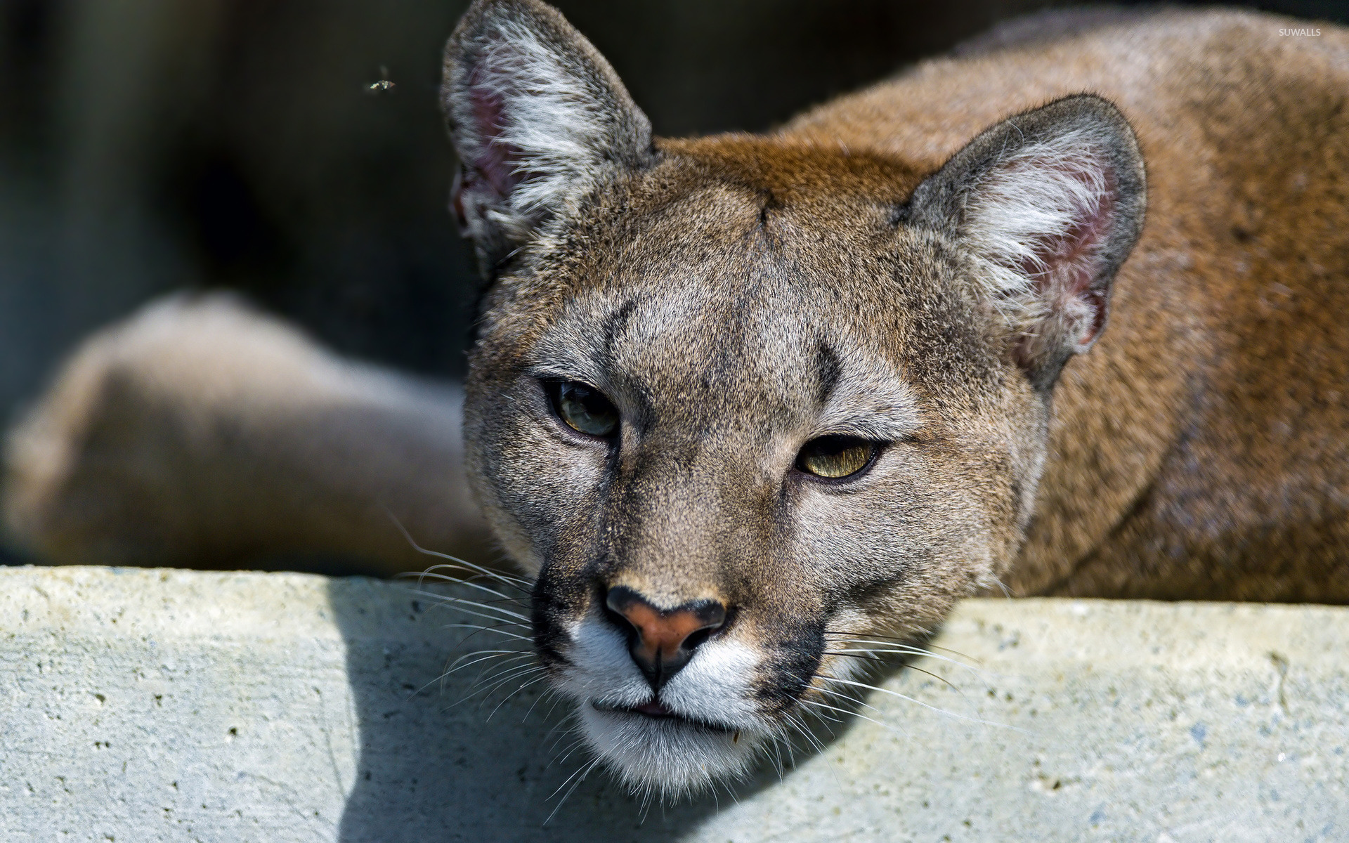 cougar resting on a stone close-up wallpaper - animal wallpapers