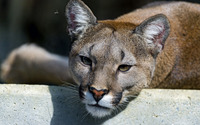 Cougar resting on a stone close-up wallpaper 1920x1200 jpg