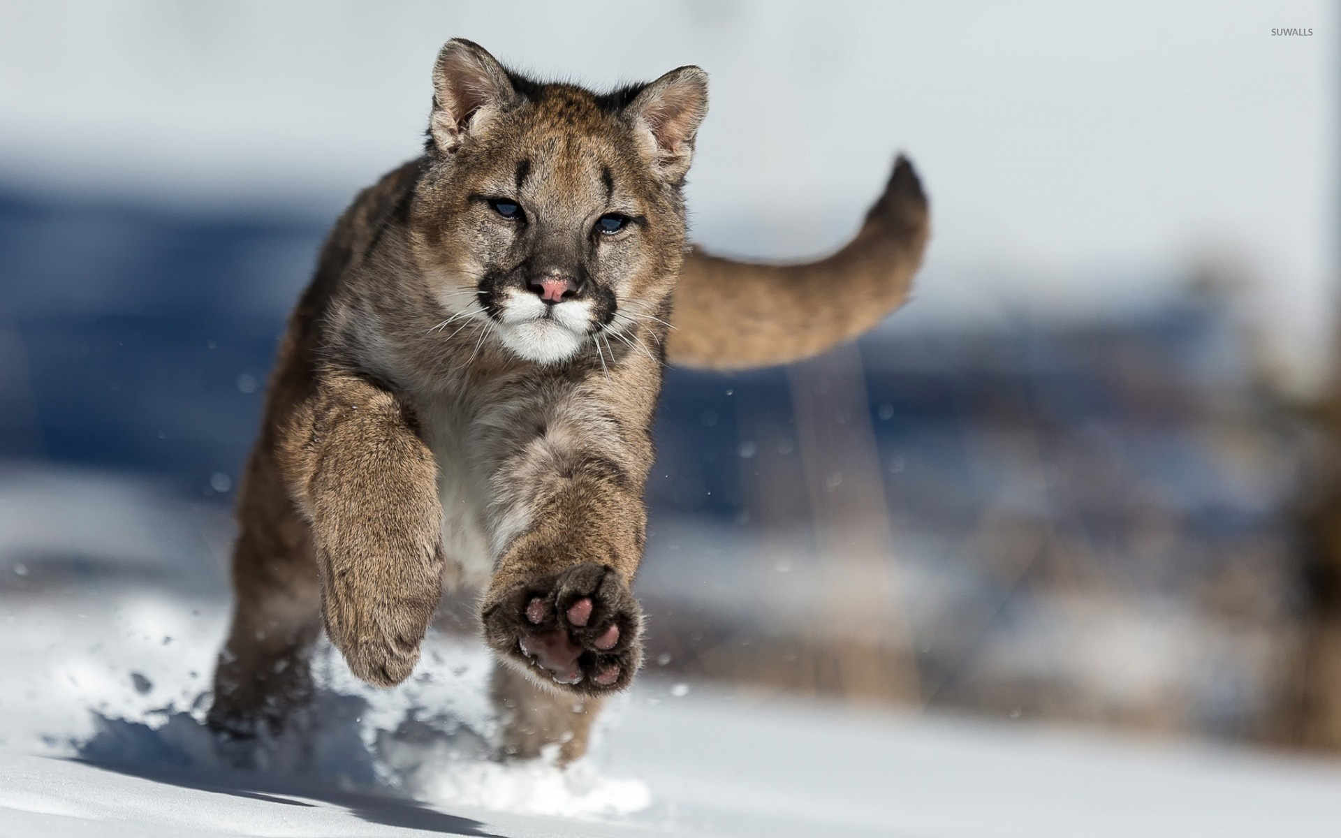 cougar running in the snow wallpaper - animal wallpapers - #45665