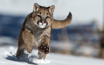 Cougar running in the snow Wallpaper