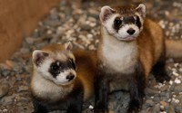 Couple of ferrets wallpaper 1920x1200 jpg