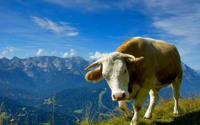 Cow [2] wallpaper